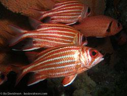 BD-070401-Similan-4010918-Sargocentron-spinosissimum-(Temminck---Schlegel.-1843)-[North-Pacific-squirrelfish].jpg